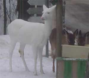 Albino Deer Pictures