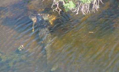 Huge Ky Alligator Eats Deer